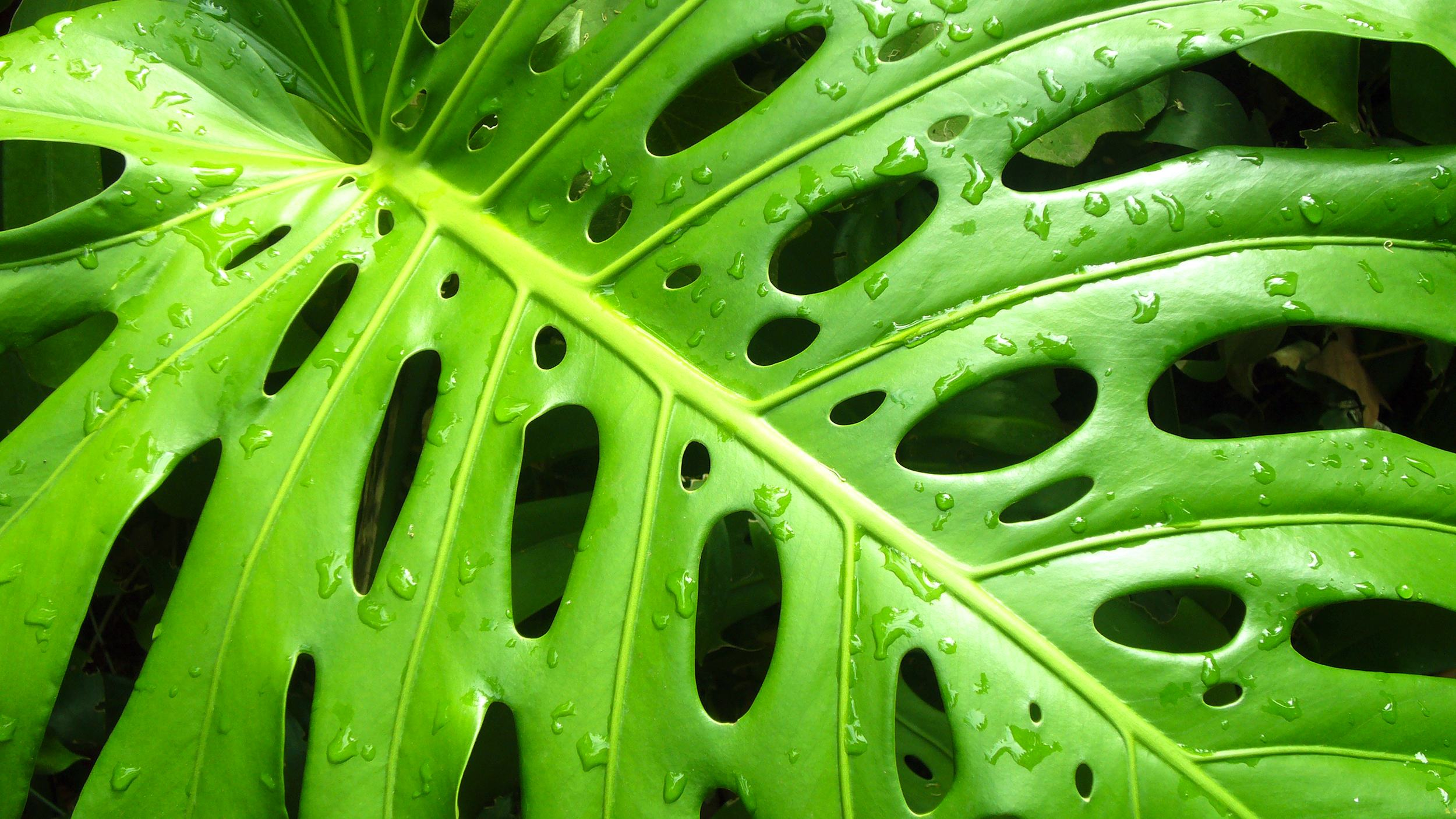 monstera leaves hawaiian tropical foliage. Black Bedroom Furniture Sets. Home Design Ideas