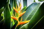 tropic.fleur.heliconia