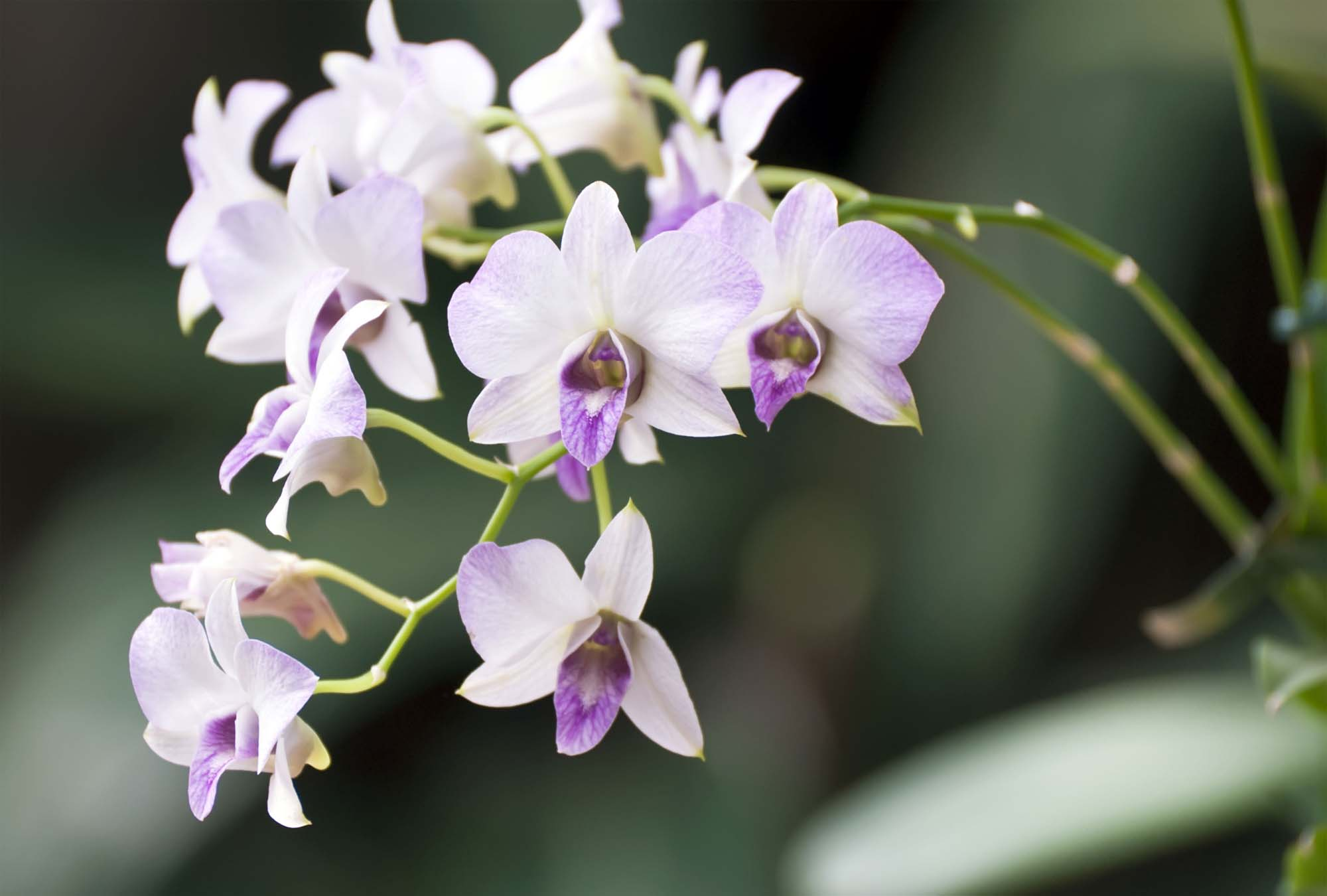 Dendrobium Orchids Fresh From Hawaii