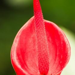 lady Jane Anthurium flower