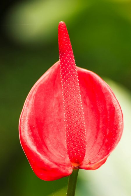 lady Jane Anthurium flower