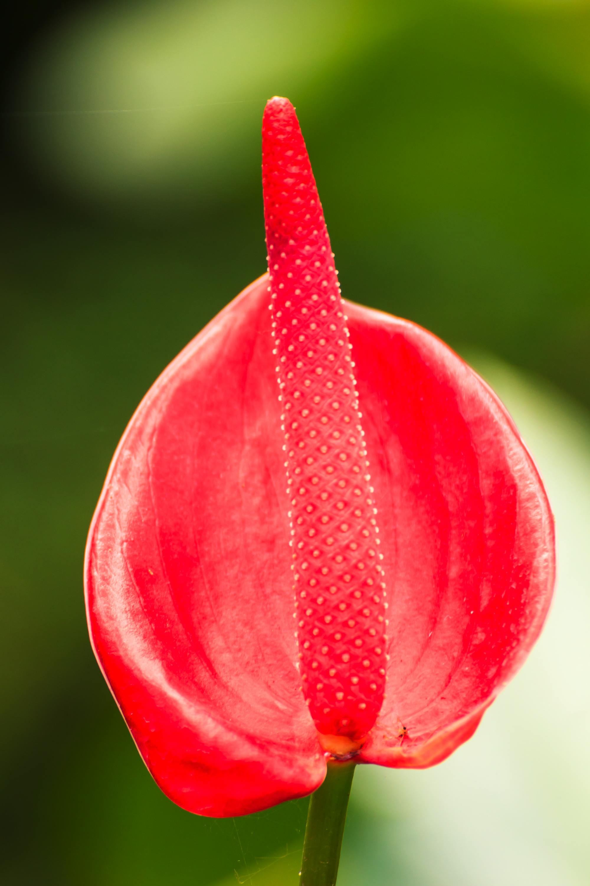 Lady jane anthurium coral color small anthurium lady jane anthurium one dozen izmirmasajfo