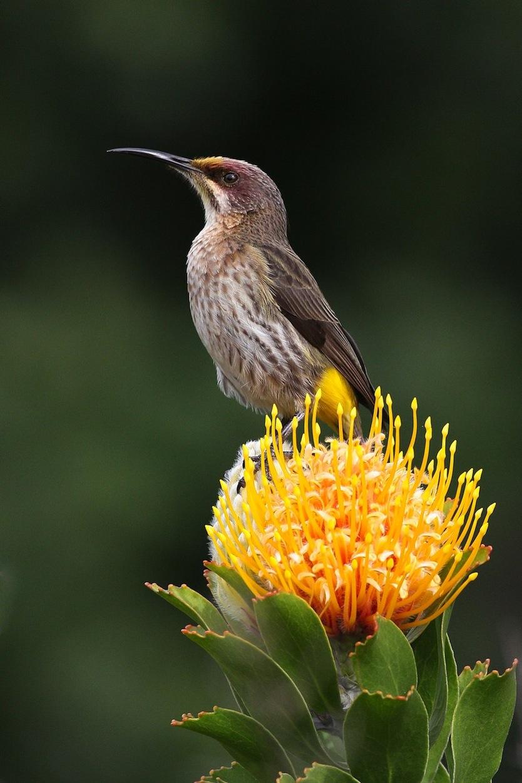 Pincushion Protea with African Bird