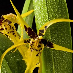 orchid mix brassia yellow