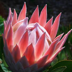 Maui.king.protea.bloom