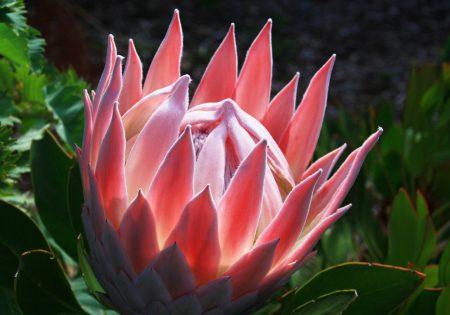 Maui.king.protea.bloom