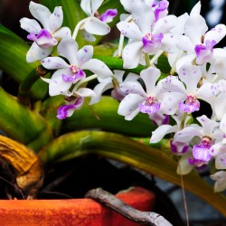 orchids of the month - Alii Flowers