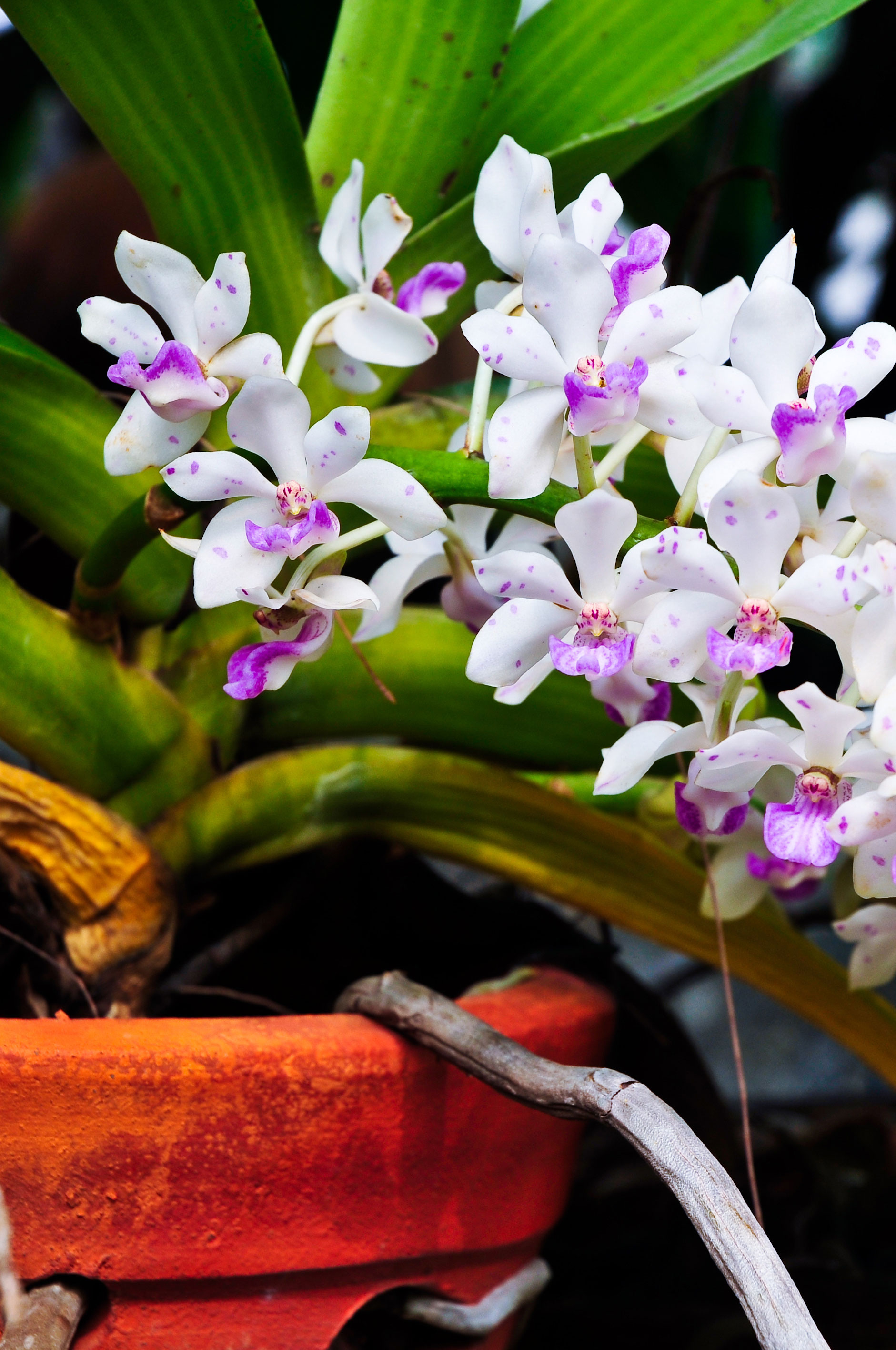 orchids of the month alii flowers
