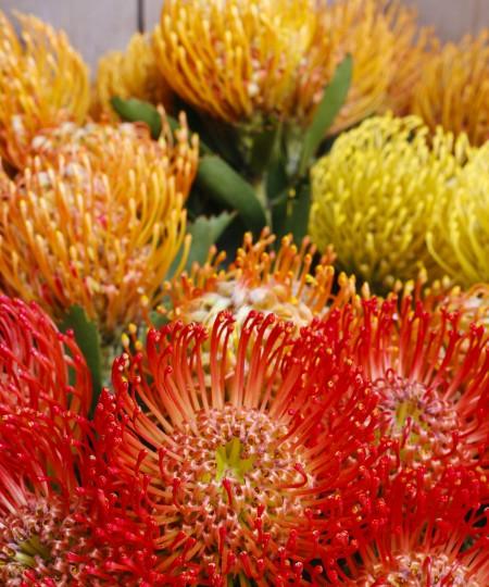 Leucospermum cordifolium flower (pincushion protea)