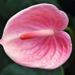 pink anthurium flower close up