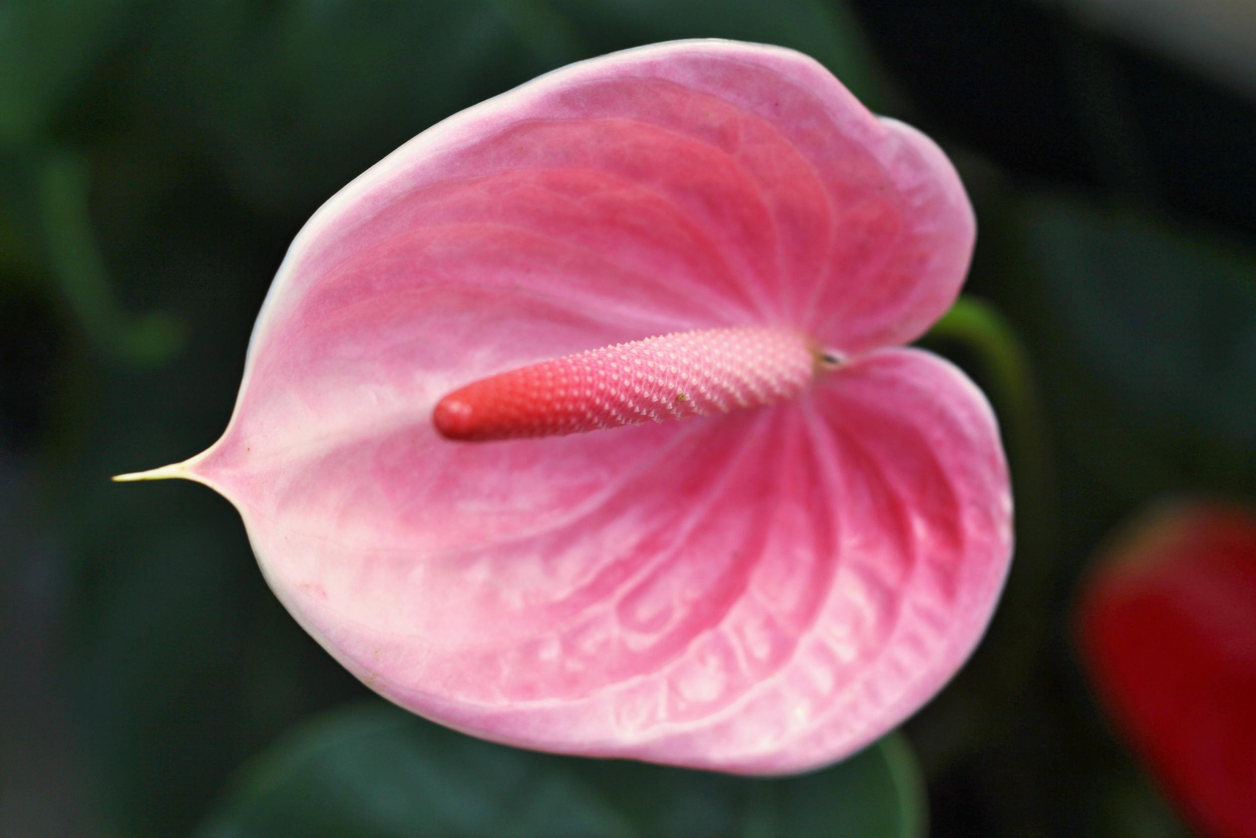 Pink anthurium blooms alii flowers back to tropical flowers by the dozen mightylinksfo Images