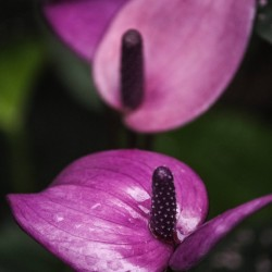 Purple Arc Anthurium