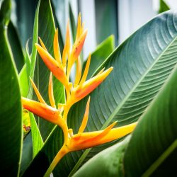 tropic fleur heliconia