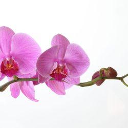 Hawaiian pink phalaenopsis orchid