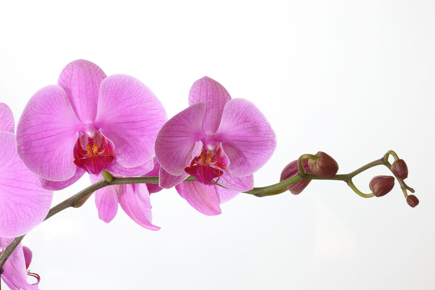 Phalaenopsis orchid in bloom free shipping How do you care for orchids after they bloom
