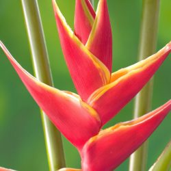 upright.heliconia