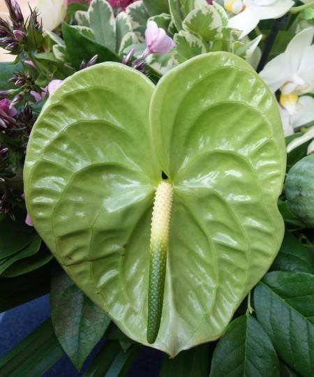 midori.anthurium.green