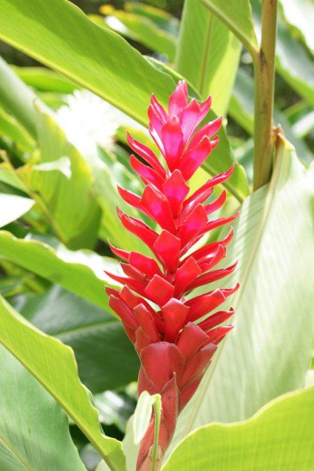 hawaiian.red.ginger