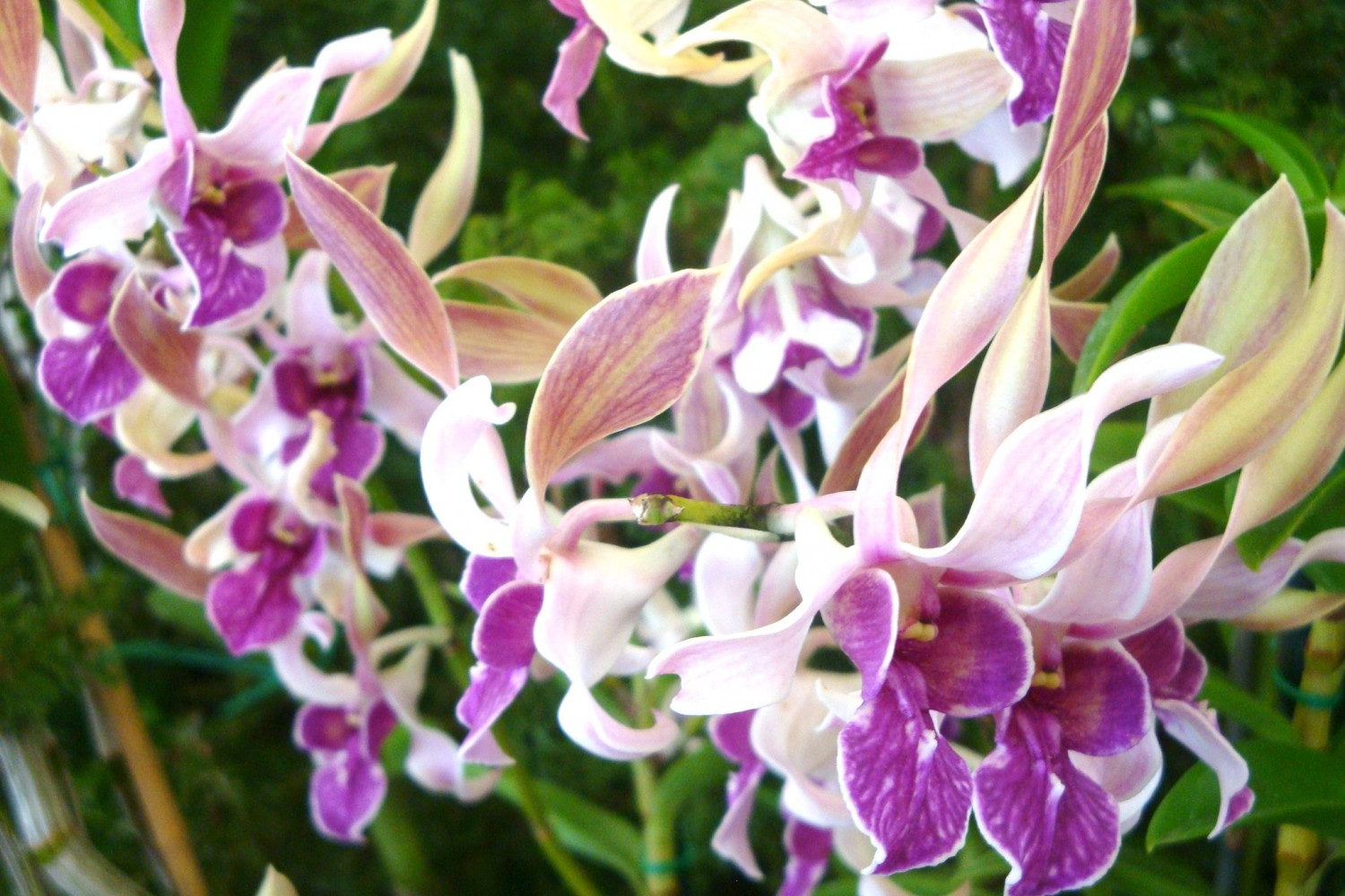 purple and pink orchid blooms