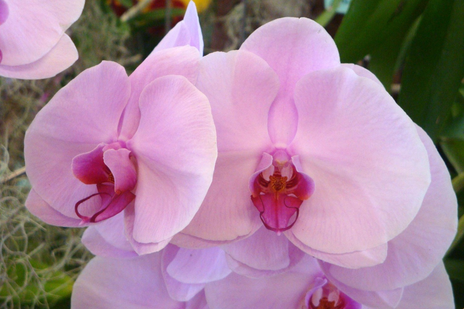 pink butterfly orchid