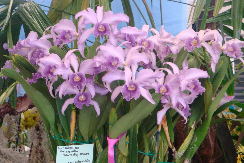 hybrid lavender orchids