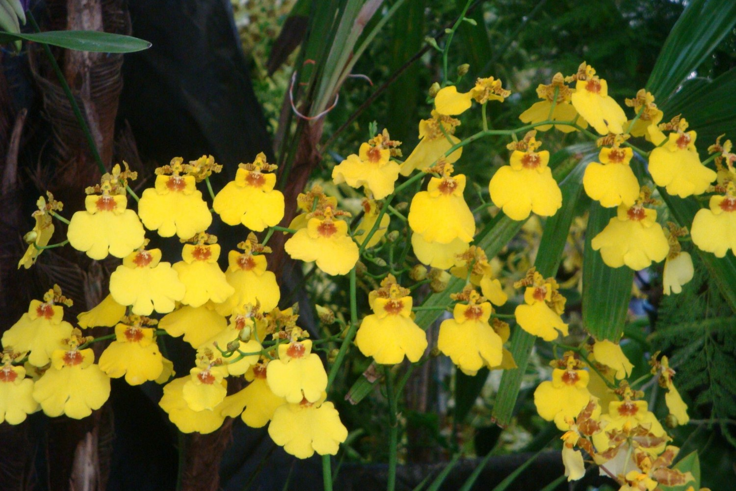 oncidium orchid in bloom