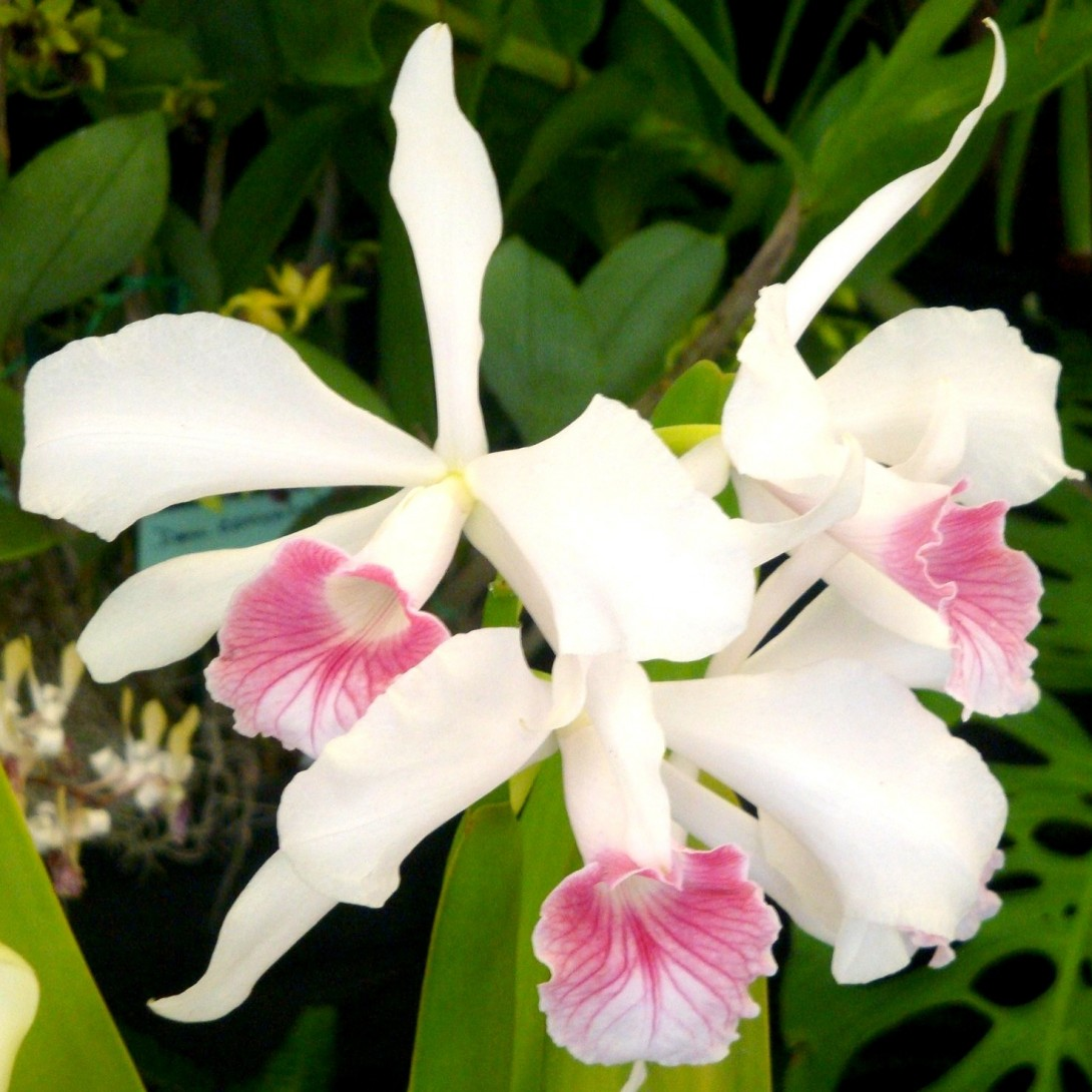 pink and white cattleya orchid