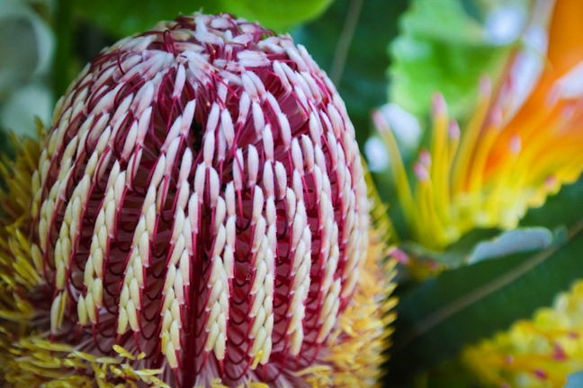 Maui banksia red flower closeup