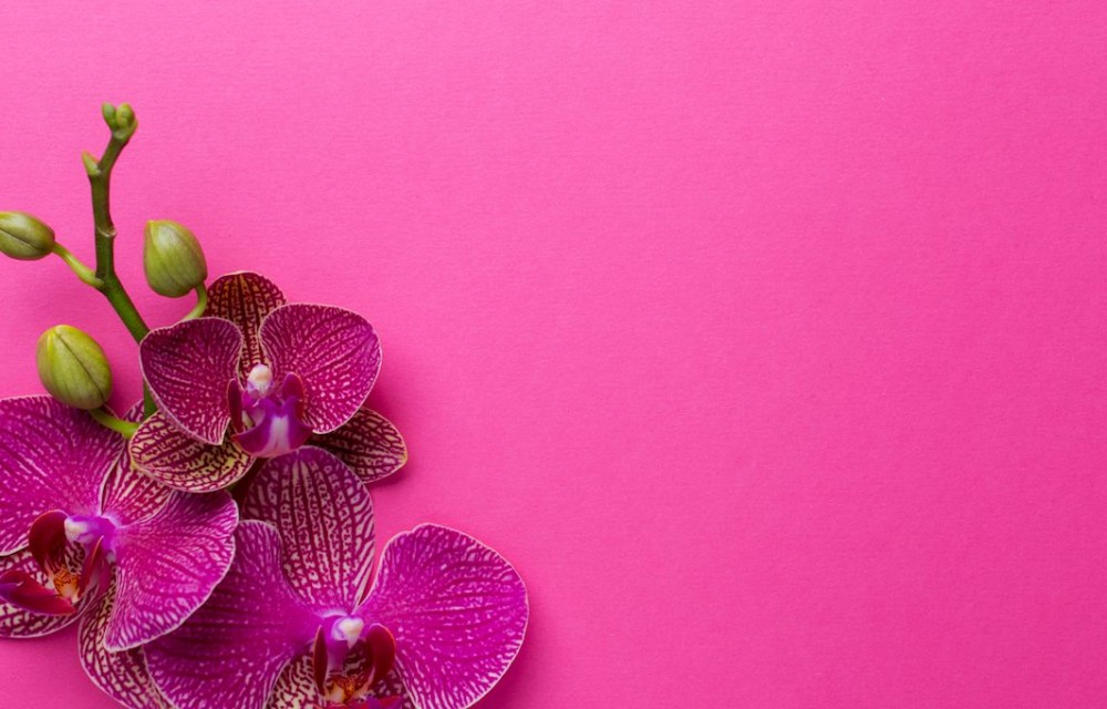 blooming orchids in pink