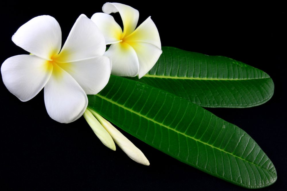 plumeria flower white and yellow